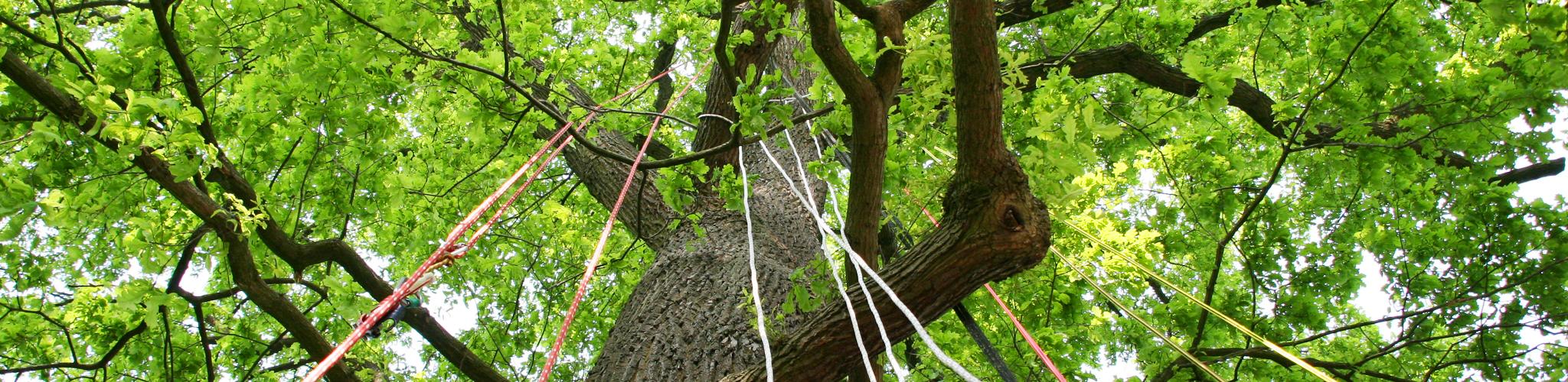Baum, vorbereitet für den Aufgstieg